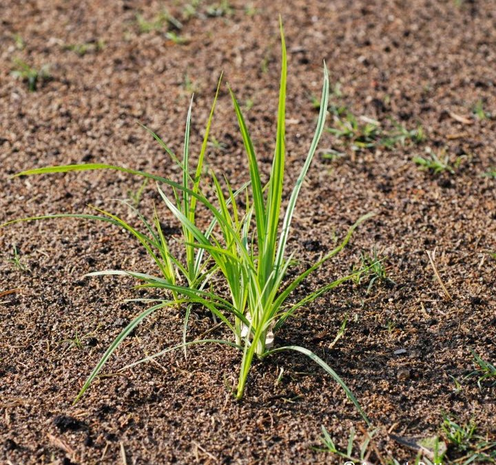 How to Eradicate Nutsedge
